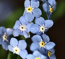 Forget-Me-Not by Joy Watson