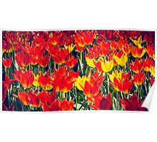 Fire Tulips Poster
