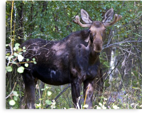 The young bull moose is back by amontanaview