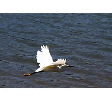 Snowy Egret in Flight Photographic Print