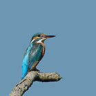 Kingfisher by Lifeware