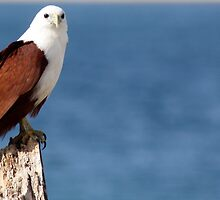 kite at the spit .. by Trish Threlfall