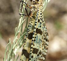 Antlion by marens