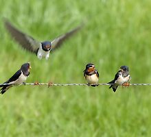 Swallows by Lifeware