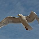 Herring Gull in Flight by John Thurgood