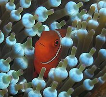 Clownfish - Nudibranchs - Silhouettes by Dr Andy Lewis