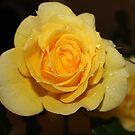 Aunty's Yellow Roses by aussiebushstick