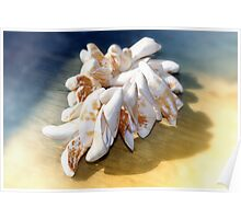 Viet Nam Sea Shells  Poster