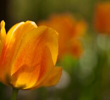yellow and orange tulips  by Papandrea Photography