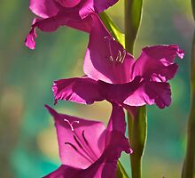Gorgeous Glads by John Butler