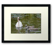 Swan & Cygnets Framed Print