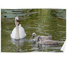 Swan & Cygnets Poster