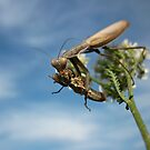 Praying Mantis Having Dinner by Istvan Natart