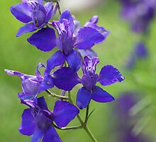 Purple Larkspur by T.J. Martin