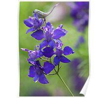 Purple Larkspur Poster