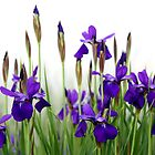 Iris Parade by Mandy Brown