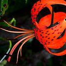 Lily !! by Elfriede Fulda