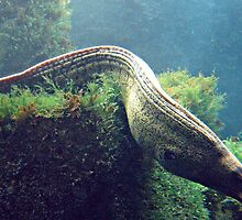 Young Moray Eel by wwwildlife