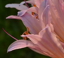 Surprise Lily by Sheryl Gerhard