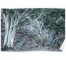 Red Gums in the Creek Poster