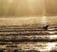 German Shorthaird Pointer in distance by saraotter