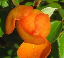orange bud with dew by Christine Ford