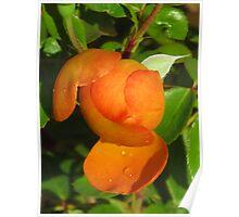 orange bud with dew Poster