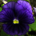 Purple Pansy by Judy Wanamaker