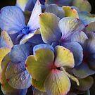 Hydrangea by Mattie Bryant