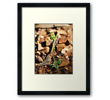 Dwarf Greenhood Framed Print