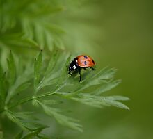 Ladybug on Carrot Greens by Clarissa Stuart