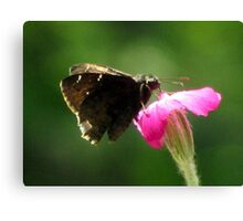 Common Sootywing (Pholisora catullus) Canvas Print