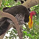 Brush-Turkey by Donna Keevers Driver