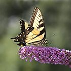 Swallowtail Butterfly II by Lisawv