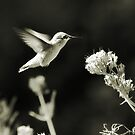 Hummingbird 4 in B&W by KatsEyePhoto