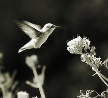 Hummingbird 4 in B&W by KatsEyePhoto