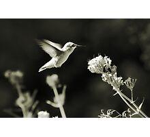Hummingbird 4 in B&W Photographic Print
