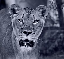 Through the Eyes of a Lion  by Saija  Lehtonen