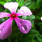 Periwinkle flower with droplets by Shiju Sugunan
