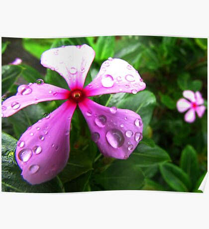 Periwinkle flower with droplets Poster