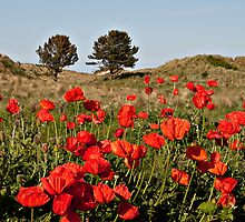Bamburgh Poppies by almaalice