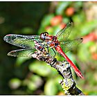 Cute Dragonfly by Morag Bates