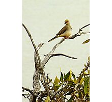 Dove Photographic Print
