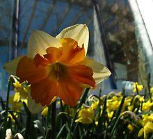 Daffodil aura by MarianBendeth