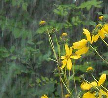 Rudebeckias in Heavy Rain by PeteHamill
