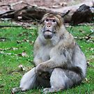 Will my Prayed be answered ( Barbary Monkey) by Elaine123