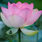 A  Frog and Lotus Flower by yoshiaki nagashima