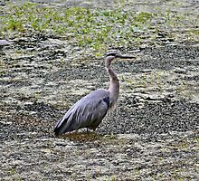 Grey Heron by Kathy Yates