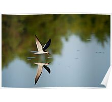 Black Skimmer Morning Poster