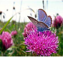 Butterfly & Clover Photographic Print